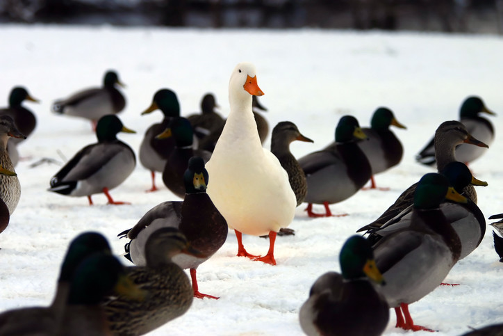 duck different from others